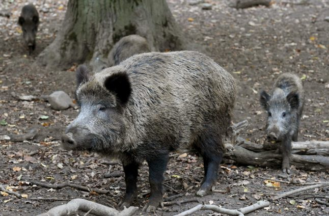 Wild boar that stole German nudist's laptop 'may be culled'