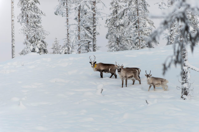 Sweden to build reindeer bridges so they can cross roads to find food