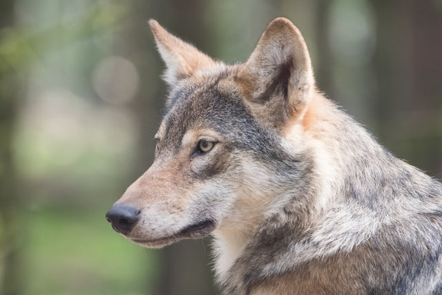 'Speak of the devil' - Why are there so many wolves in the French language?