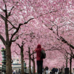 WATCH: Sweden's cherry blossoms in full bloom