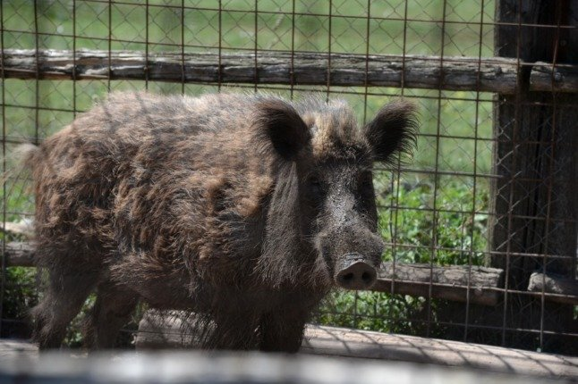 WATCH: Videos of wild boar 'invading' Rome streets go viral in Italy