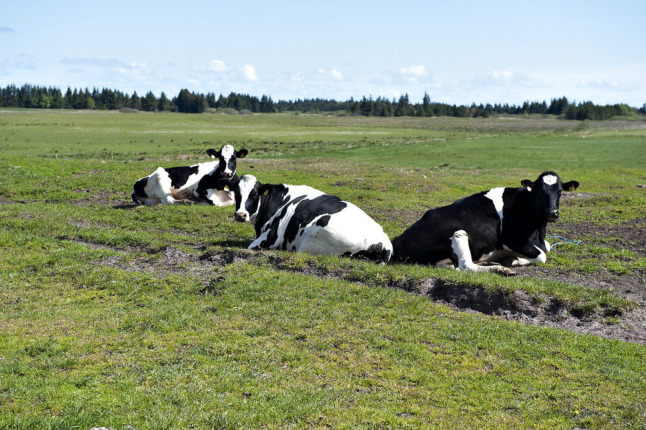 Cattle near Danish city drank polluted water'for years'