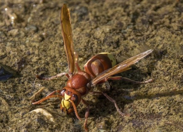 Researchers find dangerous new insect in south of France